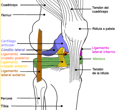 20090131133817-diagrama-rodilla-color.png
