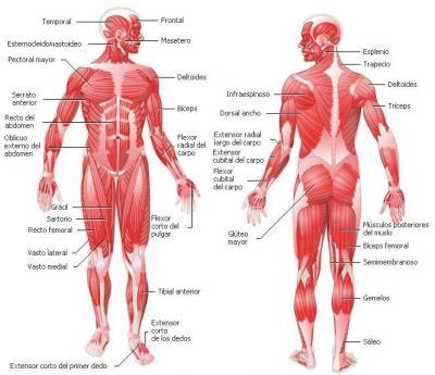 Qué és el origen, la inserción y la acción de un músculo ...