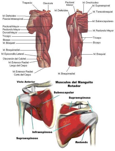 Cuáles són los principales músculos del hombro? | ENTRENADORES DE FUTBOL
