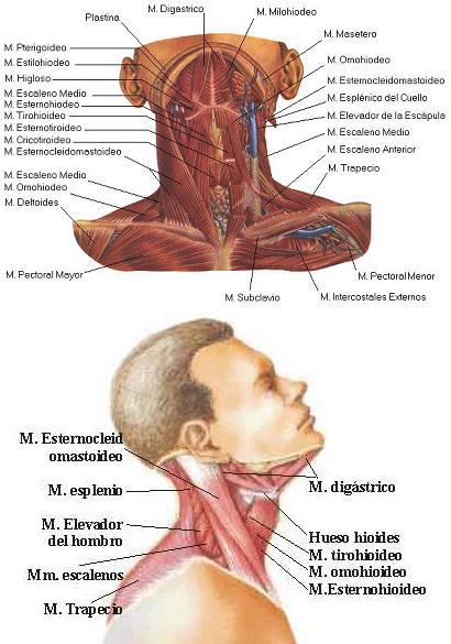 Cuáles són los principales músculos del cuello? | ENTRENADORES DE FUTBOL