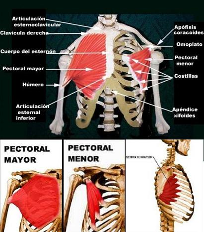 20110306215915-visuel-musculos-pectoral-mayor-y-menor-013.jpg