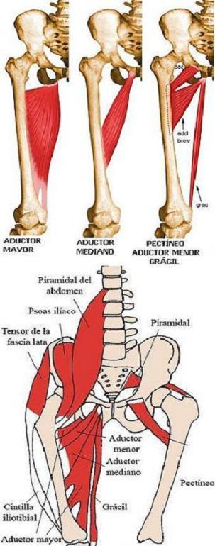 ¿Qué músculos forman los aductores de la cadera?