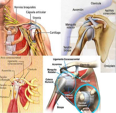 ¿Cómo és la articulación del hombro?